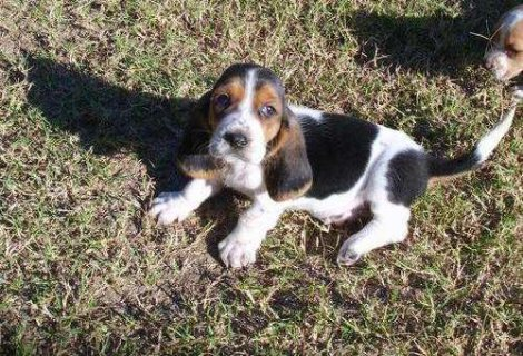 cute and beautiful Basset Hound Puppies for X-mass