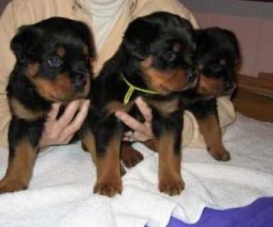 Beautiful Rottweilers Pups for sale