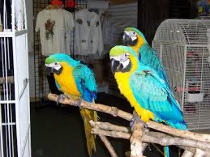 Baby Hand Reared Blue And Gold Macaws For Sale