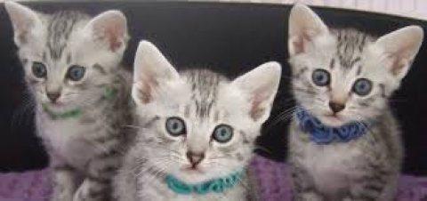 Beautifull Egyptian Mau Kittens