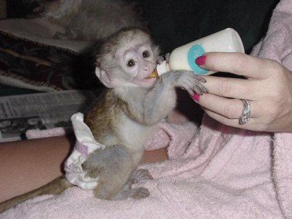 Baby capuchin monkey