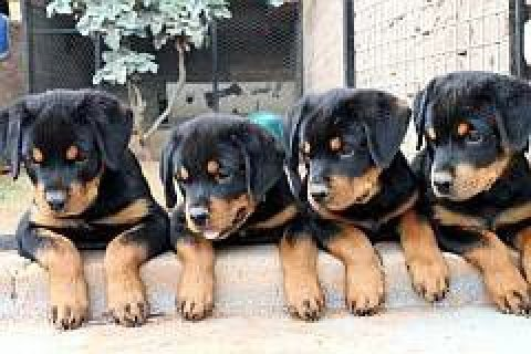 Huge Rottweiler puppies