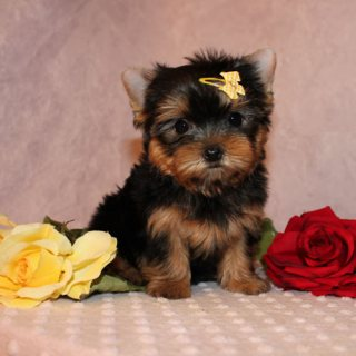 Stunning Pedigree Yorkshire Terrier Pups