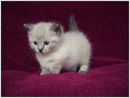 Pure breed Munchkin Kittens Registered for good homes