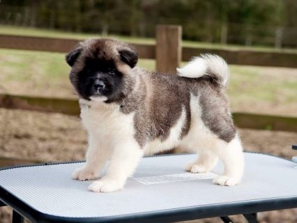American Akita Puppies For Sale Last 2