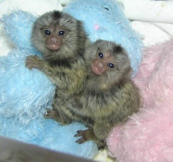 Adorable and female marmoset available For Sale