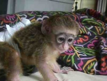 HEALTHY BABY CAPUCHIN MONKEY FOR LOVING HOMES