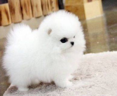 Cute and playful Teacup Pomeranian puppies for sale