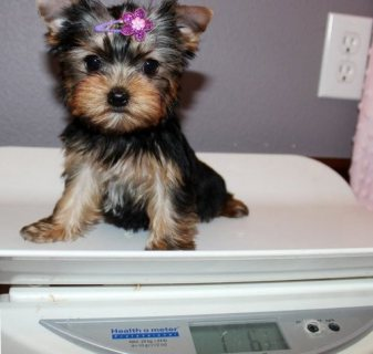 صور AKC Registered Yorkie Puppies for sale 1