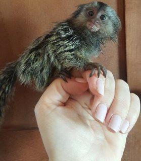 Playful Marmoset monkeys available