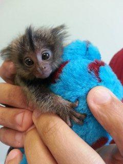 Hand Raised Marmoset monkeys  for sale