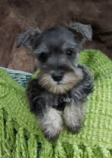 Magnificent Schnauzer Puppies for sale
