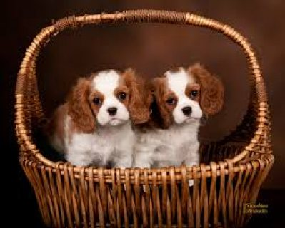 Adorable Pedigree Cavalier King Charles Spaniel Puppies for sale