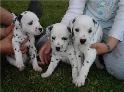 Dalmatian Puppies Available for sale