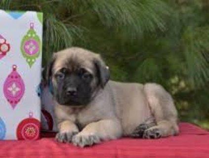Afectionate Mastiff Puppies for sale