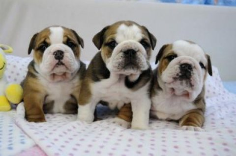 Exceptional English Bulldog Puppies