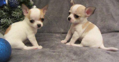 An Attractive Chihuahua puppies