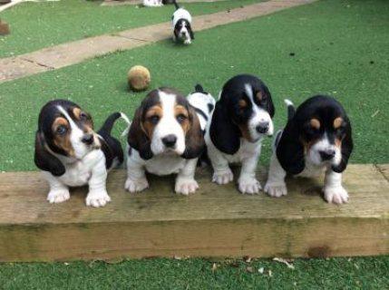 Healthy Basset Hound Puppies For Sale