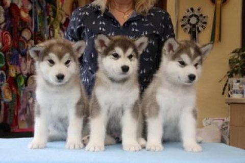 Adorable Alaskan Malamute Puppies For Sale