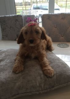 F1 Apricot Cockpoo Puppys for sale