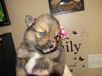 Pomeranian- female Puppy for sale