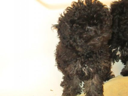 reduced akc toy poodle puppyfor sale
