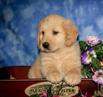Female Labradoodle puppy for sale