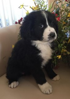 Bernedoodles Puppies for new Homes