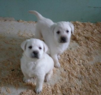 snow white English Labs Pups for sale