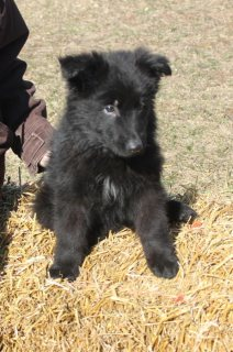 akc black long coat male german shepherd Puppy for sale