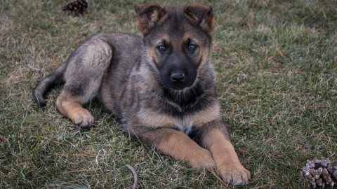 Puppies - German Shepherd for sale