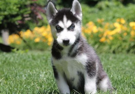 صور Siberian Husky Puppies for Sale 2
