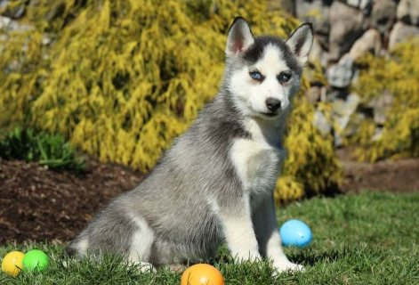 صور Siberian Husky Puppies for Sale 3