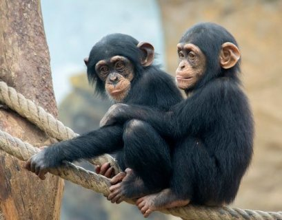 Cute and very playful baby Chimpanzees available for sale.