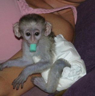 Properly train and hand fed Capuchin Monkeys for sale.