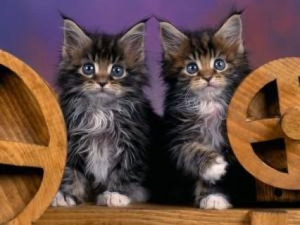 Charming Maine Coon Kitten For Sale