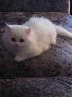 Beautiful Pedigree Persian Kitten available for sale.