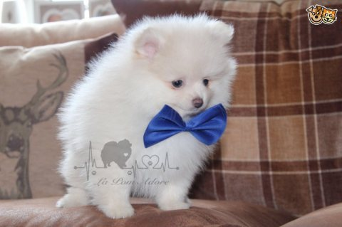 صور Beautiful Pom for sale 1