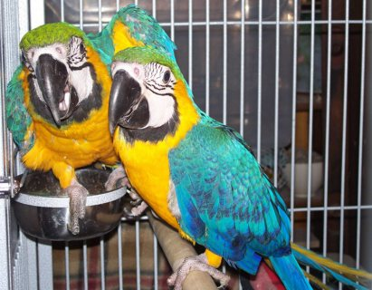 Macaw parrots blue and gold for rehoming