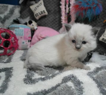 Ragdoll Munchkin Kittens for rehoming