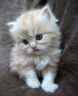 adorable Doll Faced Persian Kitten for new home