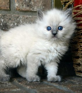 Tica registered Ragdoll Kittens 2 left for new home