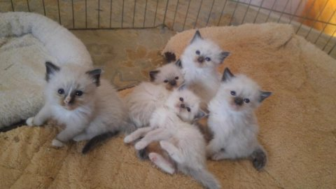 Ragdoll kittens. Ready seeking a new home