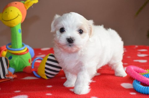 Quality Maltese Puppies For Sale