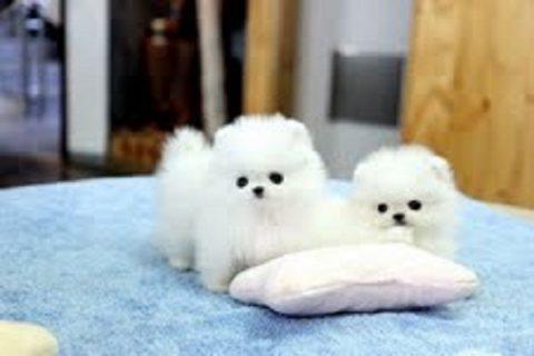 حسن المظهر كلب صغير طويل الشعر الجراء للبيع