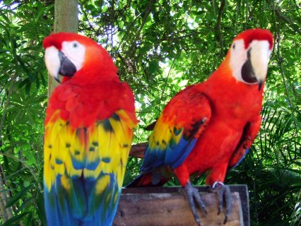 Beautiful Male And Female Macaw Parrots For Sale