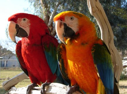 Healthy Macaw Parrots Available For Sale