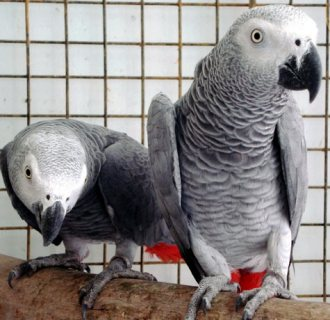 Charming African Grey Parrots For Sale