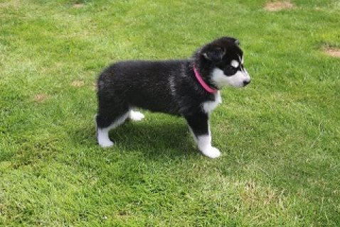 Siberian Husky Puppies foe Sale
