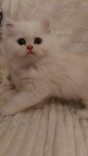 Super cute white Persian kittens for sale